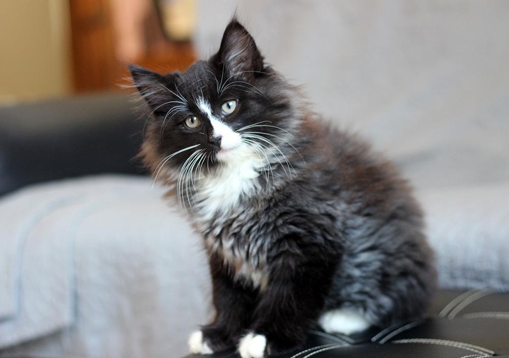 Chatterie de Leinoya | Elevage de Chats Norvégiens